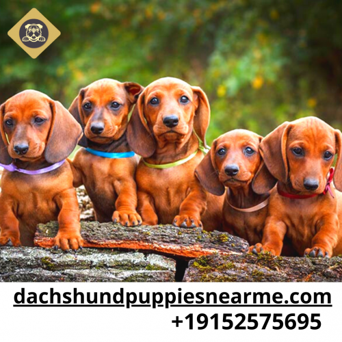 dachshund-puppies-near-me.png