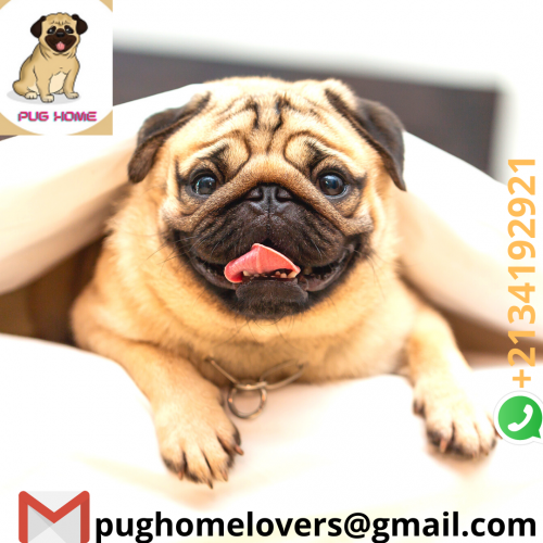 pug-home-lovers.png