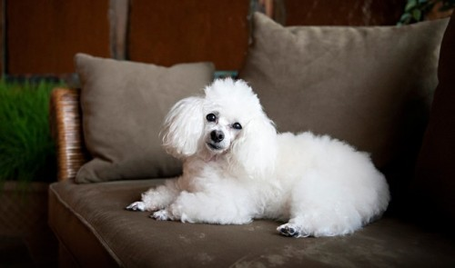 Toy-Poodles-puppies-for-adoptions.jpg